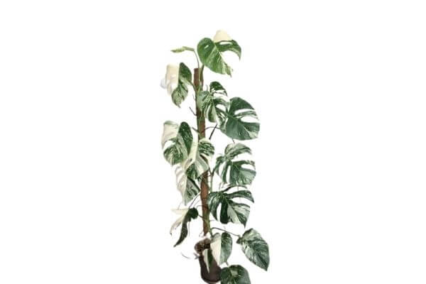 What is the most expensive house plant?